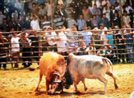 Bull-fighting